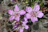 Geranium oreganum