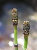 Equisetum laevigatum