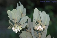 Arctostaphylos hooveri
