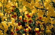 Cytisus scoparius ssp. scoparius f. andreanus