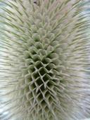 Dipsacus fullonum ssp. sylvestris