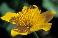 Caltha palustris ssp. palustris