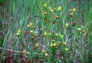 Trifolium aureum