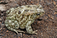 Egyptian Toad