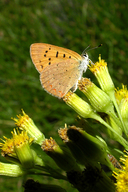 Lycaena helloides