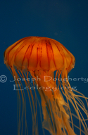 Lined Sea Nettle