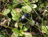 Timarcha tenebricosa