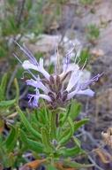 Salvia eremostachya