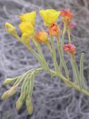Chylismia cardiophylla