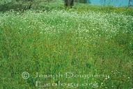 Plagiobothrys sp.