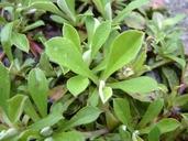Antennaria howellii