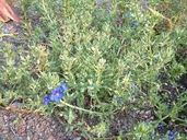 Anagallis arvensis ssp. foemina