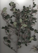Birch-leafed Mountain Mahogany