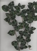 Prunus ilicifolia