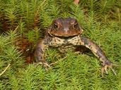 Anaxyrus americanus americanus (=Bufo americanus) (crapaud d'Amérique) [American toad]