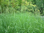 Calamagrostis canadensis var. canadensis (Michx) Beauv. calamagrostide du Canada [bluejoint reed grass]