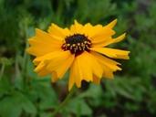 Coreopsis wrightii