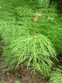 Equisetum sylvaticum L. prêle des bois [Wood horsetail]