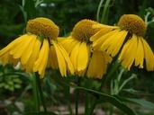 Helenium autumnale L. hélénie automnale [Sneezeweed]
