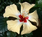 Hibiscus rosa-sinensis cv. Sylvia Goodman