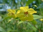 Lysimachia quadrifolia