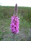 Lythrum salicaria (salicaire commune) [Purple loostrife]