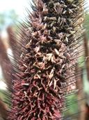 Pennisetum glaucum
