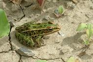 Lithobates pipiens (=Rana pipiens) grenouille léopard [Northern leopard frog]