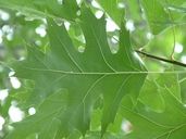 Quercus rubra var. rubra