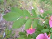 Rosa blanda