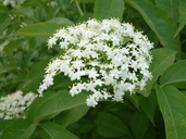 Sambucus canadensis L. sureau blanc [Common elderberry]