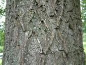 Salix Xsepulcralis