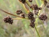 Scirpus atrovirens Willd. scirpe noirâtre [Dark-green bulrush]