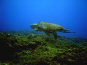 "<strong>Location:</strong> San Miguel Reef (Cozumel, Quintana Roo, Cozumel)<br /><strong>Author:</strong> <a href=""http://calphotos.berkeley.edu/cgi/photographer_query?where-name_full=Lorenzo+Alvarez-Filip&one=T"">Lorenzo Alvarez-Filip</a>"