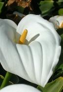 Zantedeschia aethiopica