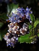 Ceanothus purpureus