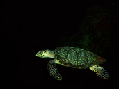 "<strong>Location:</strong> Palancar Reef (Cozumel, Quintana Roo, Cozumel)<br /><strong>Author:</strong> <a href=""http://calphotos.berkeley.edu/cgi/photographer_query?where-name_full=Lorenzo+Alvarez-Filip&one=T"">Lorenzo Alvarez-Filip</a>"