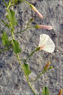 Convolvulus arvensis