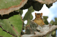 Ochre Bush Squirrel