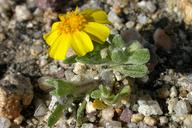 Eriophyllum wallacei