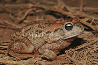 Flat-backed Toad