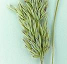Calamagrostis rubescens