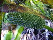 Lysichiton americanus