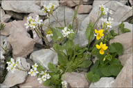 Arabis alpina ssp. alpina