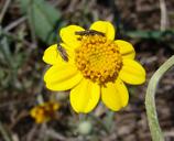 Pseudobahia peirsonii