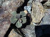 Streptanthus brachiatus ssp. hoffmanii