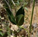 Trifolium vesiculosum