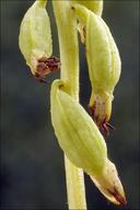 Corallorhiza trifida