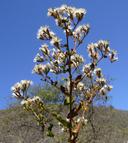 Acourtia microcephala
