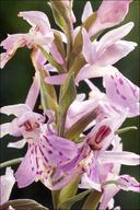 Dactylorhiza fuchsii